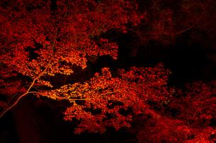 【秋】夜間のライトアップで照らされた紅葉 楓の葉の写真素材 [FYI04740353]