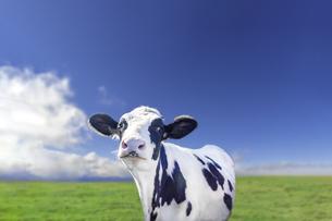青空と太陽を背景にした牧場でカメラ目線の仔牛の写真素材 [FYI04740381]