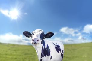 青空と太陽を背景にした牧場で笑い顔の仔牛の写真素材 [FYI04740382]
