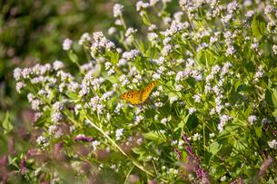 ミゾソバの蜜を吸うツマグロヒョウモンの写真素材 [FYI04740384]