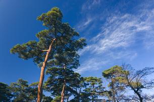 松の木と青空の写真素材 [FYI04740386]