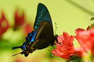 ミヤマカラスアゲハの写真素材 [FYI04740452]