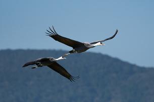 山をバックに飛ぶナベヅルの番いの写真素材 [FYI04740494]