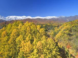信濃森上から望む白馬連峰と紅葉のカラマツ林の写真素材 [FYI04740685]