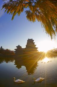 朝の松本城と白鳥の夫婦とヤナギの紅葉の写真素材 [FYI04740727]