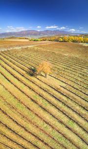 椀子ワイナリーのワインぶどうの紅葉と浅間山と一本の木の写真素材 [FYI04740788]