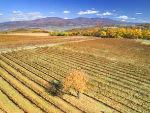 椀子ワイナリーのワインぶどうの紅葉と浅間山と一本の木の写真素材 [FYI04740789]