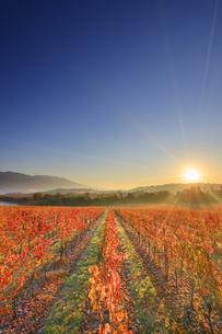 椀子ワイナリーのワインぶどうの紅葉と浅間山と朝日の写真素材 [FYI04740797]