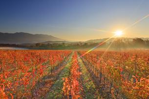 椀子ワイナリーのワインぶどうの紅葉と浅間山と朝日の写真素材 [FYI04740798]