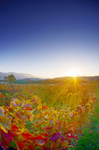 椀子ワイナリーのワインぶどうの紅葉と浅間山と朝日の写真素材 [FYI04740801]