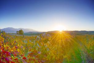 椀子ワイナリーのワインぶどうの紅葉と浅間山と朝日の写真素材 [FYI04740802]