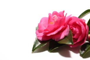白背景の山茶花の写真素材 [FYI04740953]
