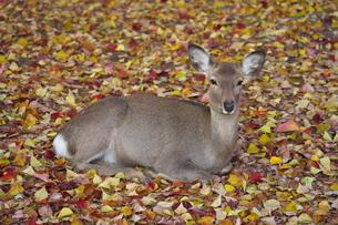 落葉の上で休む奈良公園の鹿の写真素材 [FYI04741183]