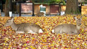 落葉の上で休む奈良公園の鹿の写真素材 [FYI04741184]