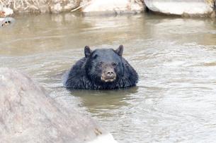 水浴びするアメリカグマの写真素材 [FYI04741187]