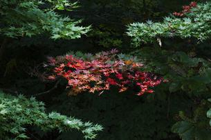 田沢湖の湖畔で赤く染まる紅葉の写真素材 [FYI04741391]
