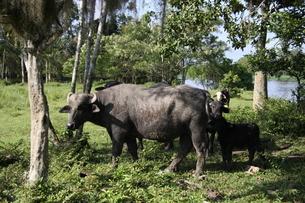 ブラジルの水牛の写真素材 [FYI04741429]