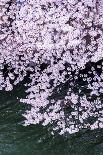 大川沿いの満開の桜の写真素材 [FYI04741465]