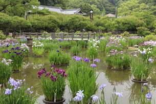 太宰府天満宮の菖蒲池の写真素材 [FYI04741993]
