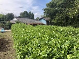 茶畑の写真素材 [FYI04742302]