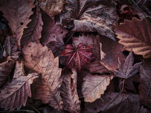 霜が着いた落ち葉の写真素材 [FYI04742750]