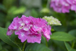 紫陽花の写真素材 [FYI04742765]