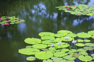 青い睡蓮 モネの庭マルモッタンの写真素材 [FYI04743049]
