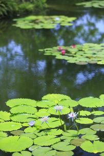 青い睡蓮 モネの庭マルモッタンの写真素材 [FYI04743050]