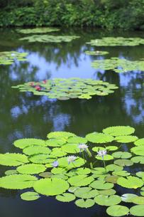 青い睡蓮 モネの庭マルモッタンの写真素材 [FYI04743051]