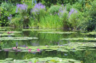 高知県のモネの庭マルモッタン 水の庭の写真素材 [FYI04743052]