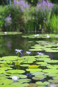 青い睡蓮 モネの庭マルモッタンの写真素材 [FYI04743064]
