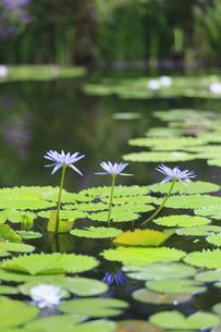 青い睡蓮 モネの庭マルモッタンの写真素材 [FYI04743065]