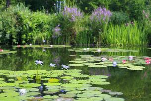 青い睡蓮 モネの庭マルモッタンの写真素材 [FYI04743066]