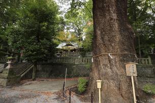 湯河原温泉 秋の五所神社 神奈川県銘木百選の楠の木がある五所神社の写真素材 [FYI04743219]
