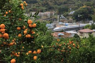 湯河原温泉 東海道新幹線とみかん畑 ピントは新幹線の写真素材 [FYI04743222]