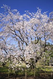 六義園のしだれ桜の写真素材 [FYI04743375]
