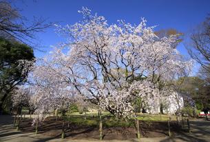 六義園のしだれ桜の写真素材 [FYI04743376]