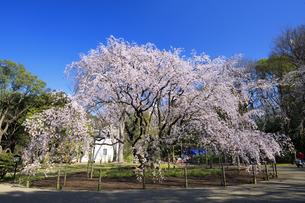 六義園のしだれ桜の写真素材 [FYI04743377]