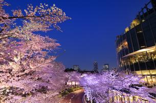 東京ミッドタウンの桜のライトアップの写真素材 [FYI04743389]
