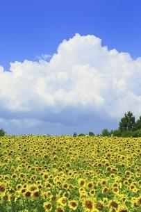 ヒマワリ畑と入道雲の写真素材 [FYI04743483]