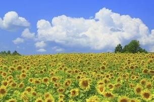 ヒマワリ畑と入道雲の写真素材 [FYI04743488]