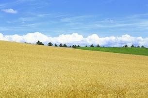 小麦畑 美瑛の丘の写真素材 [FYI04743545]