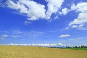 小麦畑 美瑛の丘の写真素材 [FYI04743548]