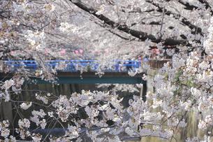 目黒川桜まつりの写真素材 [FYI04743828]