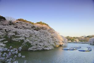 千鳥ヶ淵の桜の写真素材 [FYI04743861]