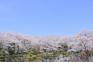 飛鳥山公園の桜の写真素材 [FYI04743870]