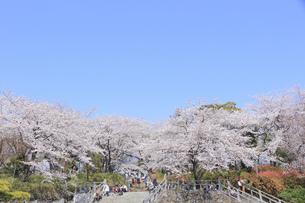 飛鳥山公園の桜の写真素材 [FYI04743871]