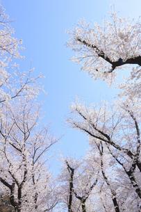 桜と青空の写真素材 [FYI04743876]