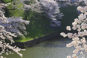 九段の桜の写真素材 [FYI04743895]