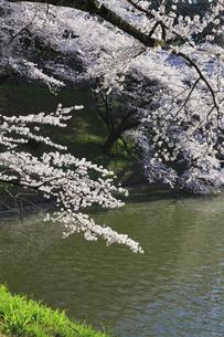 九段の桜の写真素材 [FYI04743902]